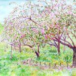 根岸森林公園の八重桜:横浜の根岸森林公園で描いた絵です。もう半分散りかけていましたね。