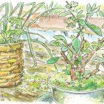 クサボケ:セツの庭で。