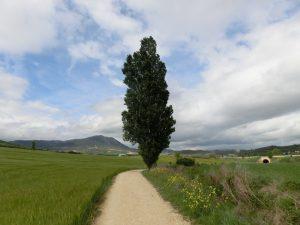 大きなポプラの木