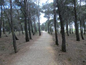 松林の中を通る
