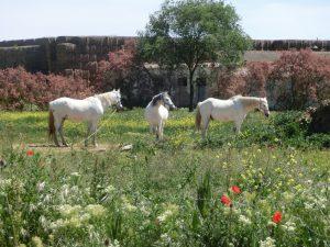 三頭の白い馬