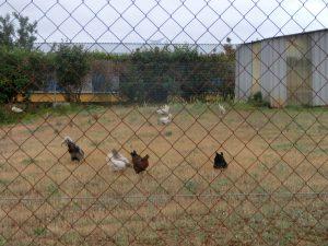 鶏たちが放し飼いされていた