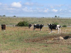 牛が放牧されていた