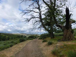 巡礼路沿いの大きな木