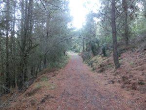 松林の中を進む