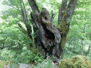 叫び顔のように見える大木