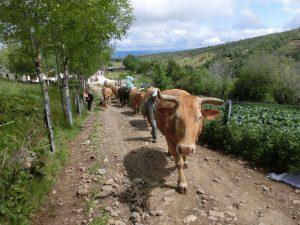 また牛の大群と遭遇