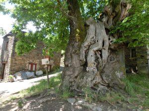 不思議な形をした栗の木
