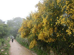 黄色い花が一面に垂れ下がっている