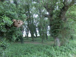 ツタが絡まった木々