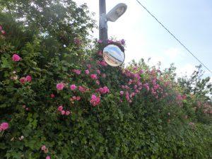生垣の花とカーブミラー