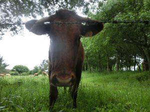 牛とご対面