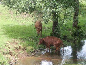 牛が水浴びをしていた