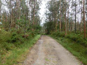 ユーカリの林の中を通る
