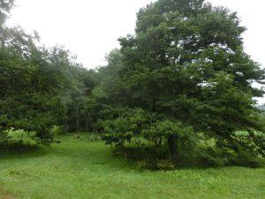 コブシの木(多分…)