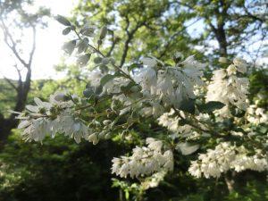 ウツギの花(夕方に撮った写真)