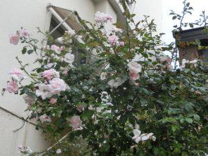 中庭のバラ