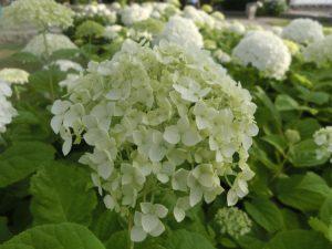 白いアジサイの花