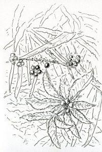 植物のスケッチ