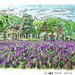 ファーム富田:ラベンダーが綺麗に咲いていました。観光客も多かったですが…。
