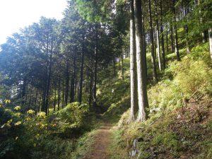 杉林の中を歩く