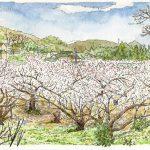 梅香る里:小田原の曽我梅林で描きました。川の土手から見ると、梅の花が海のように見えましたよ。